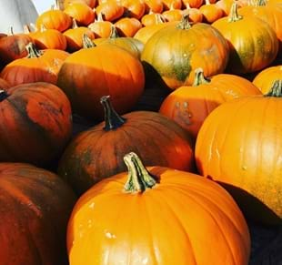 Pick - Your - Own Pumpkins