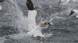 RSPB Diving Gannets Seabird Cruises, Bempton Cliffs