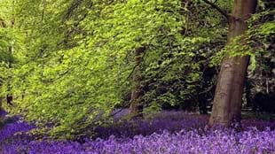 Blossom and Bluebell Trail at Thorp Perrow