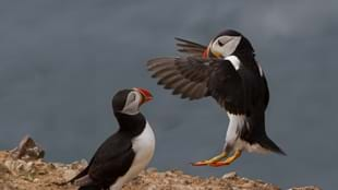 Family Puffin Patrols