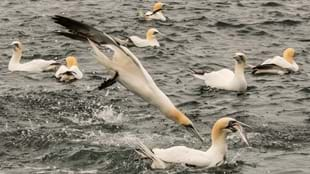 RSPB Diving Gannet Cruises