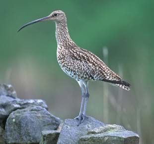 Hear the call of the Curlew with the YDNP