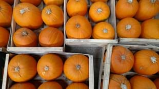 Pumpkin Picking at Thornton Hall Country Park