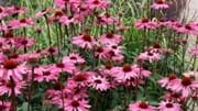 Dove Cottage Nursery Garden NGS Open Days
