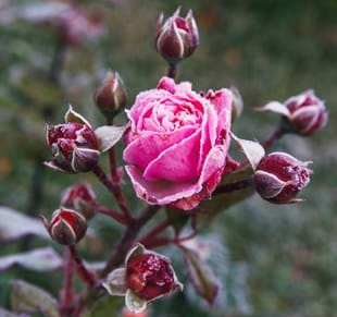 Winter Care & Rose Pruning Workshop